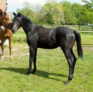Stolen Solo as a yearling